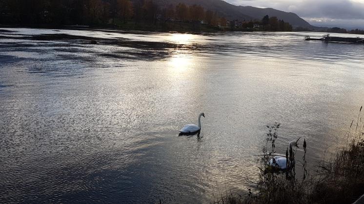 Swans © Tracey M Benson 2017
