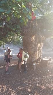 Oat Tree Elder