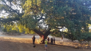 A magnificent Oak Elder