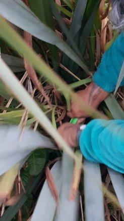 Maata cutting Harakeke, Photo by Tracey M Benson