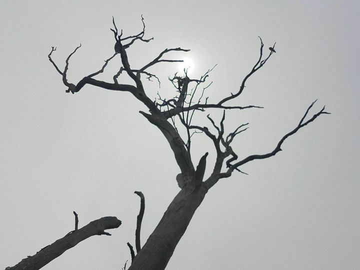 Dead tree at Urambi Hills